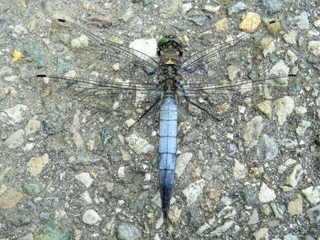 entomology: blue dragonfly