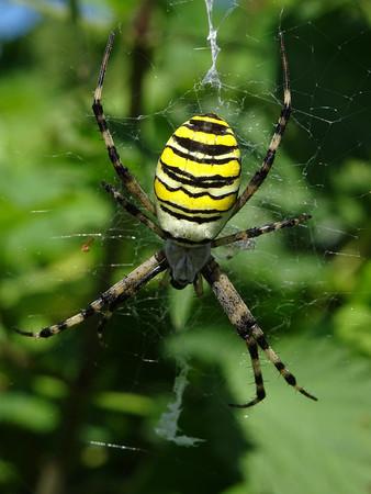 arachnids: Argiope bruennichi spider