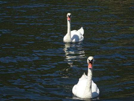 cisnes: Cisnes