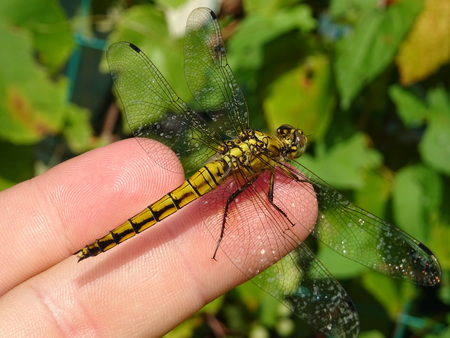 entomology: Yellow Dragonfly looking for friendship