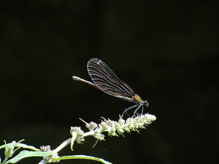 entomology: black Dragonfly Stock Photo