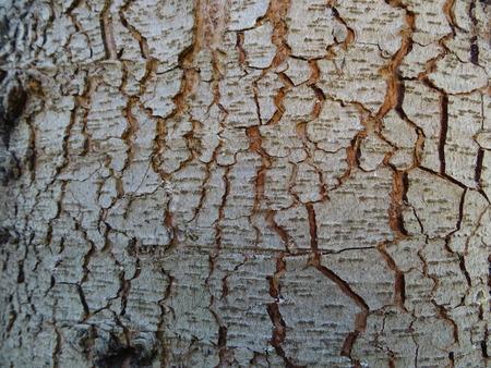 pinaceae: Cedar bark (01) Stock Photo
