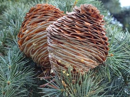 pinaceae: Cedar pine cones (01) Stock Photo