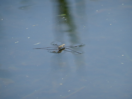 entomology: water spider Stock Photo