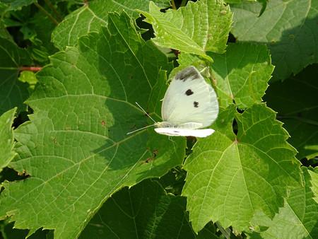 pieris: Pieris brassicae butterfly