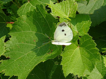 brassicae: Pieris brassicae butterfly