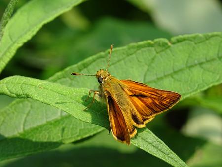 ochlodes: Ochlodes sylvanus Butterfly Stock Photo