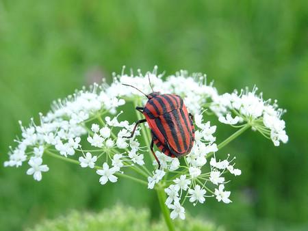 bedbug: bedbug Rossoneri Stock Photo