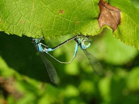 blue damsels in mating