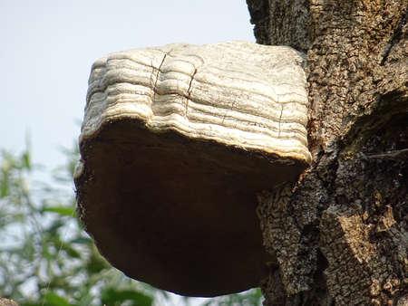 mycology: Huge mushroom fungus Ganoderma Stock Photo