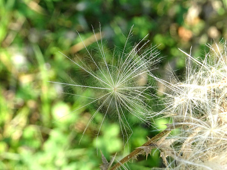 wilding: Prickly thistle seed