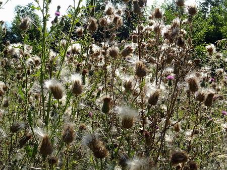 abundant: thistles ready abundant sowing Stock Photo