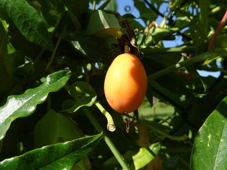 passion fruit flower: Passiflora fruit