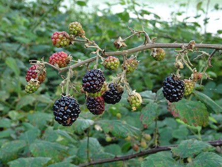 bramble: Seafood Rubus ulmifolius Stock Photo