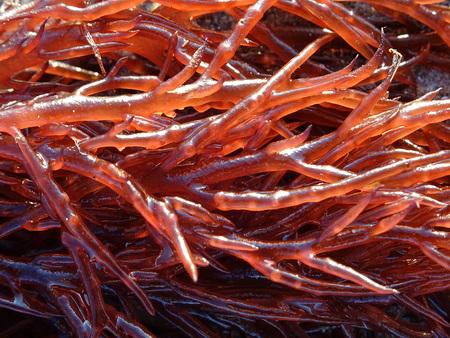 Het rode zeewier van Gracilaria dat in details wordt gezien Stockfoto