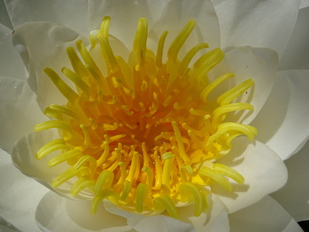Detail of flower of Nymphaea dawn Stock Photo