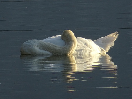Swan sleeping Stock Photo - 83168473