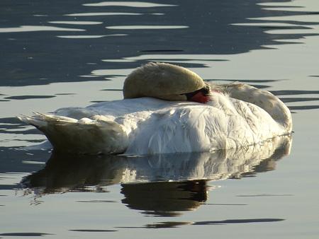 Sleeping swan Stock Photo