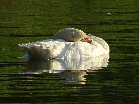Sleeping swan Stock Photo - 83290073