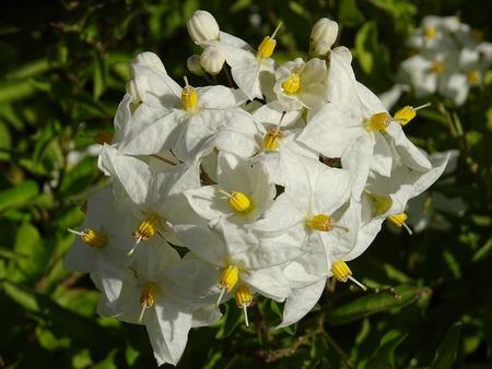 Flowers of Solanum