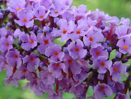 Buddleja davidii flowers Zdjęcie Seryjne