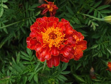 Tagete flower Zdjęcie Seryjne