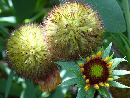 Seeds and bud of Gaillardia