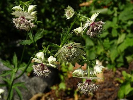 Astrantia major flowers Zdjęcie Seryjne