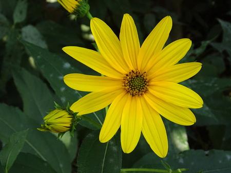 Topinambur flower