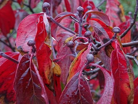 Cornus florida in the autumn