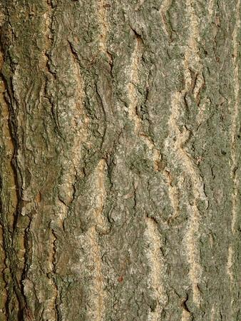Ginkgo biloba bark Zdjęcie Seryjne