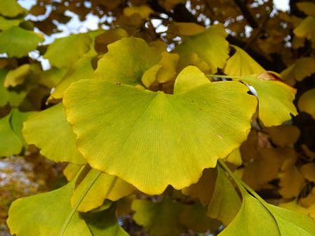 Ginkgo biloba leaf in the autumn period Zdjęcie Seryjne
