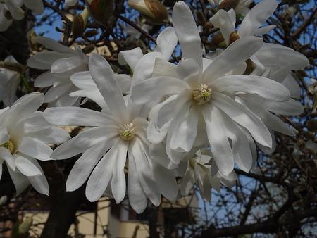 Flowers of the starry Magnolia Zdjęcie Seryjne