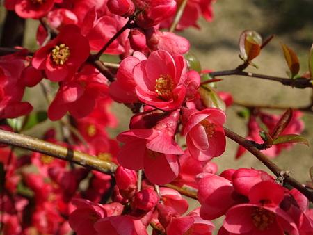 The flowers of the Chaenomeles Zdjęcie Seryjne