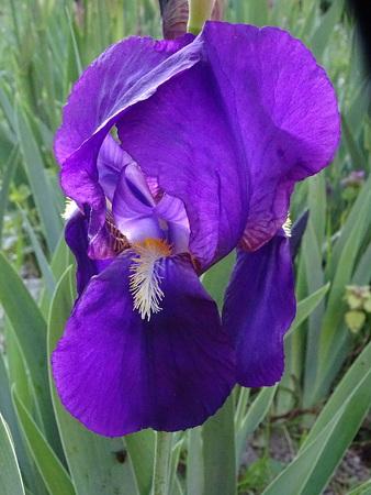 Iris flower Zdjęcie Seryjne