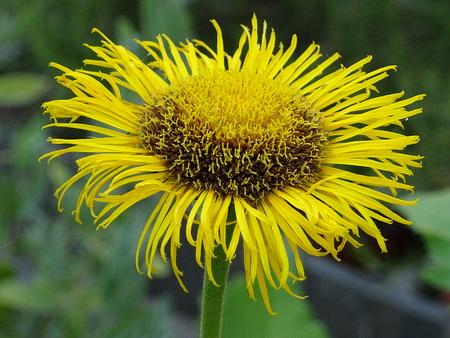 Flower of Telekia speciosa Zdjęcie Seryjne