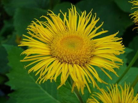 Flower of Telekia maggiore