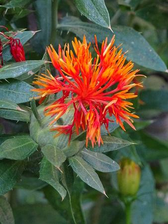 Flower of Carthamus tinctorius