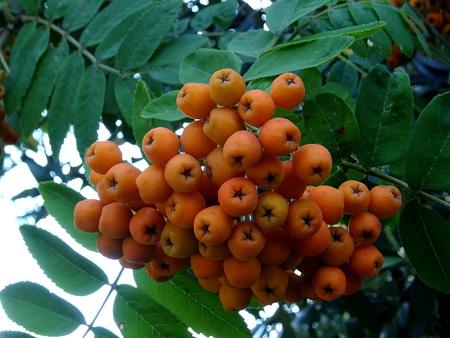 Sorbus aucuparia berries
