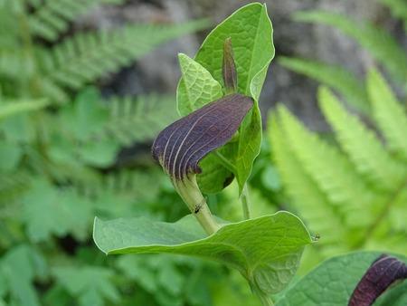 Aristolochia rotunda flower 版權商用圖片 - 108913547