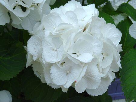 White Hydrangea Zdjęcie Seryjne