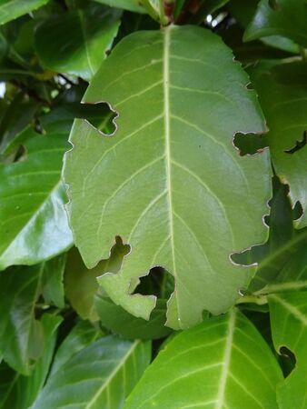 Laurel leaf eaten Zdjęcie Seryjne
