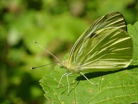 Yellow-green butterfly