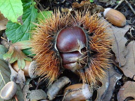 Chestnut Hedgehog Zdjęcie Seryjne