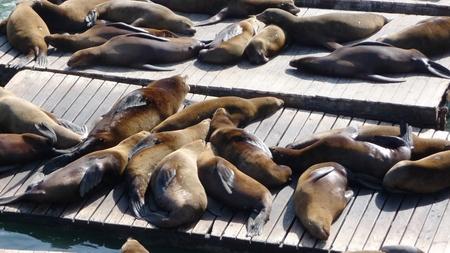 peer to peer: Seals tanning on a peer in San Francisco Foto de archivo