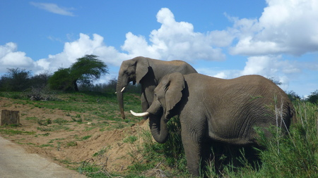 elephants in south african bush Stock Photo