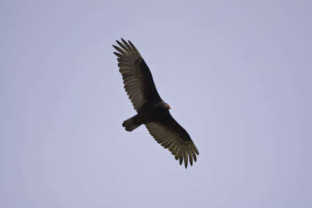 Close up view of a turkey vulture flying by with its wings spread. Banco de Imagens