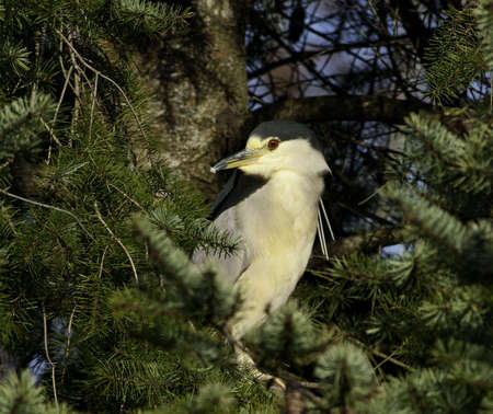 bright eyed: A bright eyed night heron in pine tree looking about.