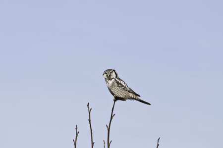 Checking out the paparazzi.The hawk owl is a day time hunter.This is a rare sighting in Vancouver