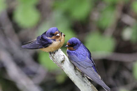 Two swallows on a branch. They are learning to fly.